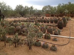 Save a cactus this weekend in Oro Valley