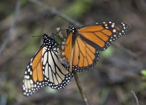 Mariposa monarca se recupera en México, sigue en riesgo