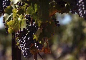 Arizona winemakers celebrate late, but strong harvest