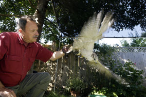 Falcon recovery in Calif. succeeds, leading feds to end rescue of some chicks