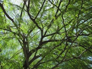 Mmm … mmm … mesquite: Tips on how to identify best trees and pods