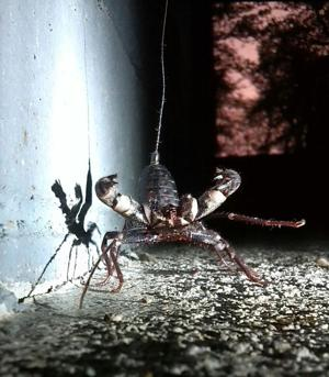 Garden sage: Giant whip scorpion looks terrifying but is harmless