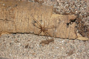 Arizona brown spider packs one heck of a punch