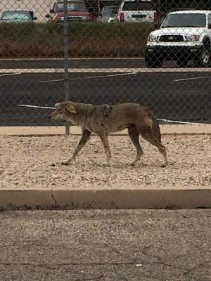 Game officers still hunting possibly rabid coyote
