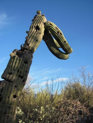 Tucson Oddity: Sea creatures adorn saguaro created by Japanese artist