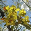 Flowering palo verde tree
