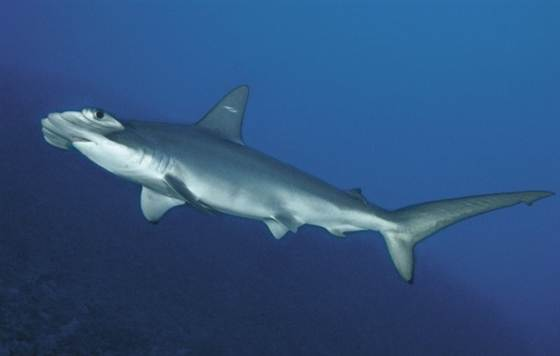 New hammerhead species