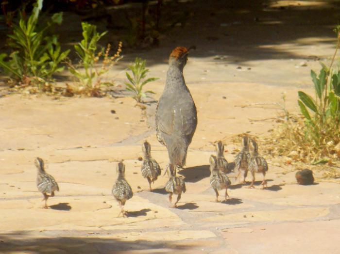 Family of quail