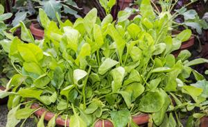 Spinach Plants