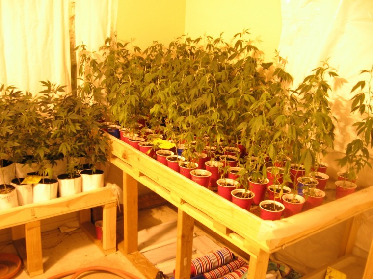 Suspects growing 367 plants