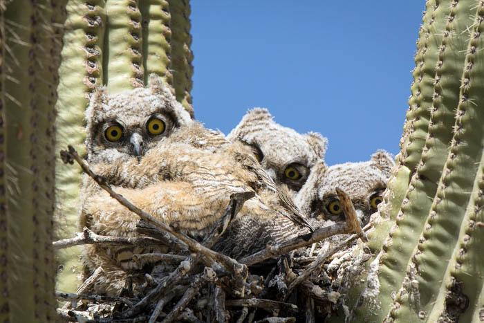 Owls nesting