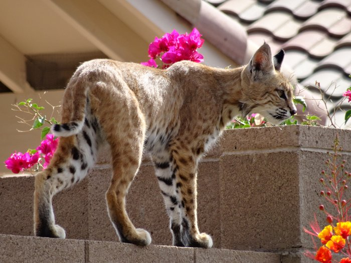Bobcat on wall