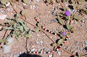 Arizona coral snake