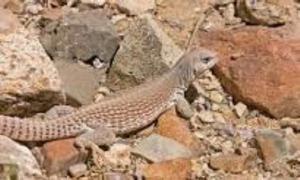 Desert Iguana.jpg
