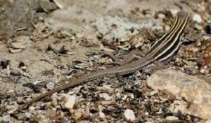 Desert Whiptail-2.jpg