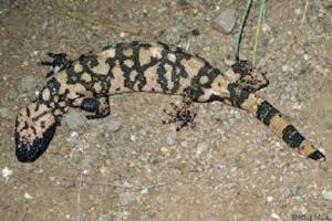 Gila Monster.jpg