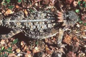 Horned Lizard.jpg