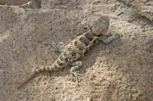 Spiny Lizard.jpg