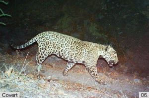 Jaguar Seen In Santa Rita Mountain By Motion Cameras: This is an image of a jaguar walking through the Santa Rita Mountains in June 2013 which was capture by a motion sensor camera. - USFWS Southwest Region