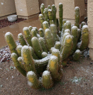 Snow Day: A rare sight - cactus dusted with snow.  - Brandon Hays/The Explorer