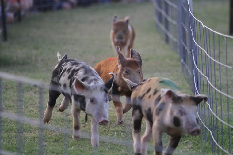 Marana Pumpkin Patch & Farm Festival Piggy Professionals
