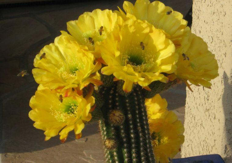 Cactus and bees