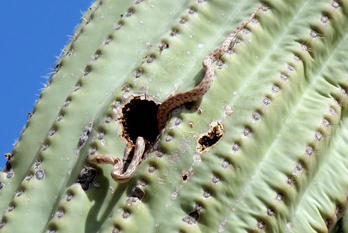 Saguaro snake
