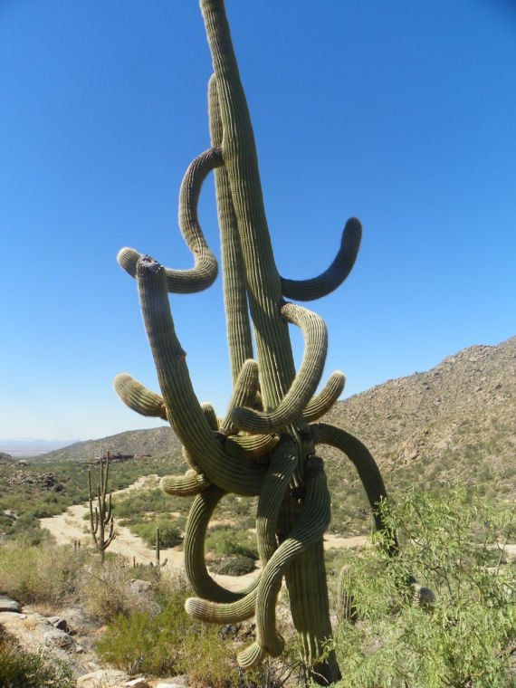 Big cactus in Dove Mountain