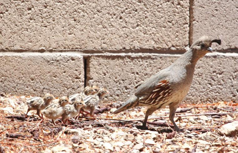 Quail and her chicks