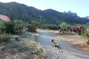 Desert Bighorn Sheep Release: One of the 31 desert bighorn sheep takes off into the Santa Catalina Mountains from Catalina State Park as the sun peaks over the ridge Monday morning. - Randy Metcalf/The Explorer