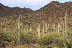 Beat Back Buffelgrass Day at Saguaro National Park Jan. 23
