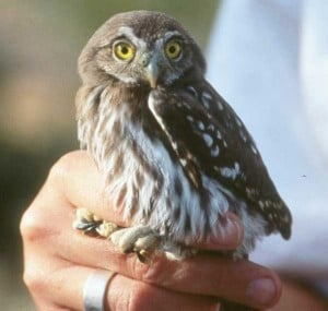 Pygmy owl again targeted for protection
