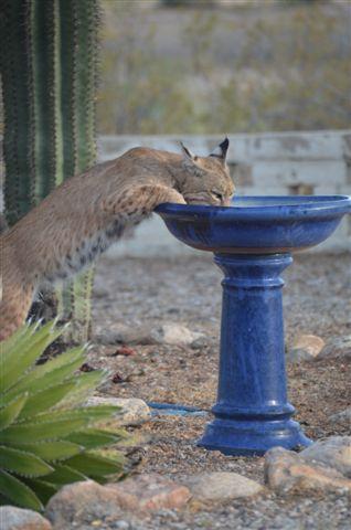 Bobcat at birdbath