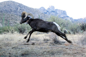 Desert Bighorn Sheep Release: Two groups of sheep were gathered from near Yuma and Quartzsite and relocated to the Santa Catalina Mountains. - Randy Metcalf/The Explorer