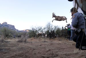 Desert Bighorn Sheep Release: One by one, desert bighorn sheep leapt out of their trailer as they were released back into the wild Monday. - Randy Metcalf/The Explorer