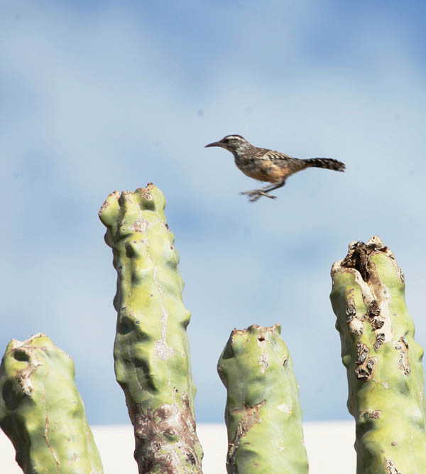 Cactus Wren Jump