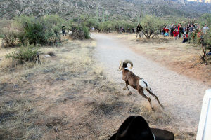 Desert Bighorn Sheep Release: Numerous people gathered at Catalina State Park Monday morning to witness the first desert bighorn sheep to take up residence within the Santa Catalina Mountains within the last decade. - Randy Metcalf/The Explorer