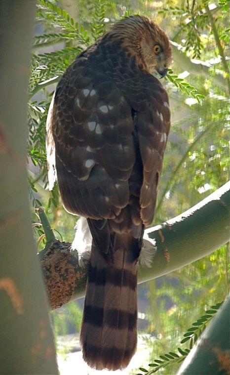 Hawk in a palo verde