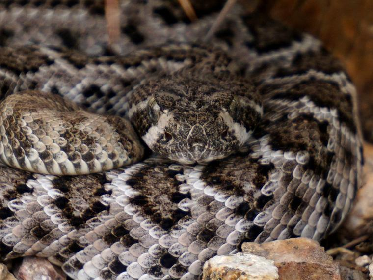 Arizona diamondback