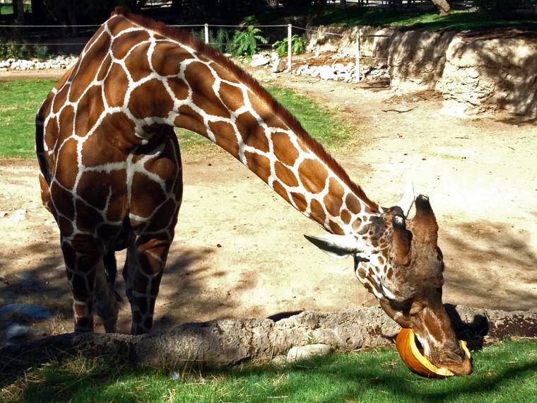 Giraffe enjoying a pumpkin