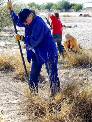 Buffelgrass Pull: Lauren Sims tries to pry a large clump of buffelgrass from the soil.