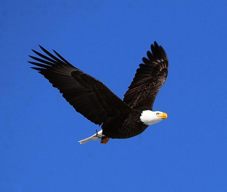 Migrating Eagle