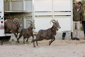 Bighorn Sheep released, TV Host Jack Hanna present