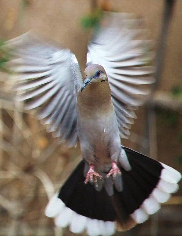 Dove in motion