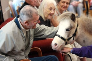 Little Hooves And Big Hearts Visits Clare Bridge: Little Hooves and Big Hearts' Lilly draws a big smile from Paul Bisnette, a resident at Clare Bridge of Oro Valley.  - Randy Metcalf/The Explorer