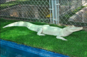 Albino Alligator: Powder the albino alligator will be available for pictures at the Lazydays Gator Fest on Saturday, Jan. 19.  - courtesy photo