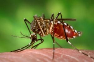 Mosquito: The mosquito species Aedes aegypti is a dangerous carrier of the virus that causes dengue fever. (Photo Credit: NIH)