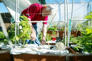 Local Gardening: Marana resident John Keller tends to one of his many EarthBoxes in his back yard. Keller believes that this form of gardening is one of the easiest and yields vegetables year-round. - Randy Metcalf/The Explorer