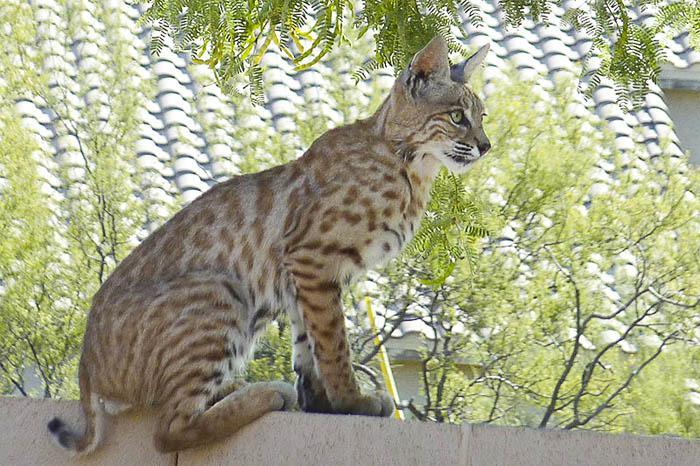 Bobcat Perch