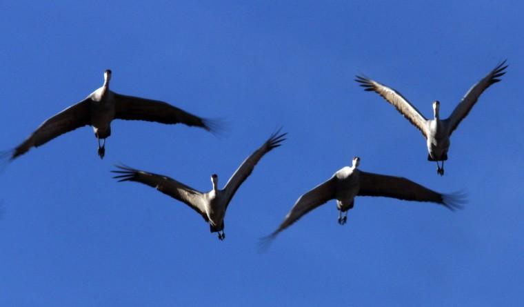 Sandhill Crane migration
